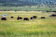 Animais em Maasai Mara, Kenya Imagem de Stock