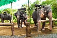 Animais em Tailândia Elefantes tailandeses com selas do passeio Curso, T Imagem de Stock