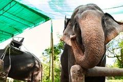 Animais em Tailândia Elefantes tailandeses com selas do passeio Curso, T Imagens de Stock