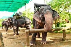 Animais em Tailândia Elefantes tailandeses com selas do passeio Curso, T Fotos de Stock Royalty Free