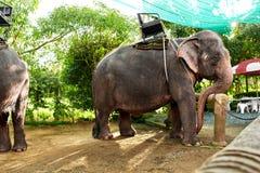 Animais em Tailândia Elefantes tailandeses com selas do passeio Curso, T Fotografia de Stock