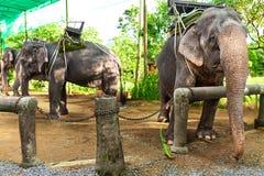 Animais em Tailândia Elefantes tailandeses com selas do passeio Curso, T Foto de Stock Royalty Free