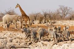 Animais em torno de um furo de água Imagem de Stock