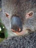 Animais - Koala imagens de stock