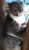 Animais - Koala fotografia de stock royalty free
