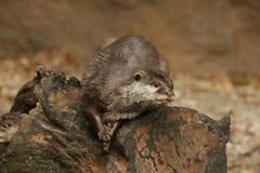 Animais: lontra em um registro imagens de stock royalty free