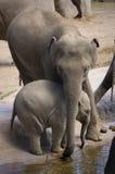 Animais - mamíferos - elefantes Foto de Stock Royalty Free