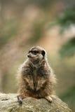 Animais: Meerkat que senta-se em uma rocha imagem de stock