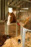 Animais na exploração agrícola Imagens de Stock Royalty Free