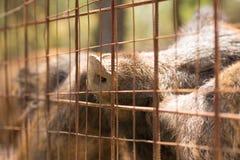 Animais prendidos Um olhar ascendente do fim dos javalis dentro de uma gaiola Imagens de Stock Royalty Free