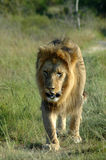 Animais selvagens africanos Foto de Stock Royalty Free