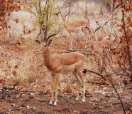 Animais selvagens africanos: Antílope do Impala Foto de Stock Royalty Free