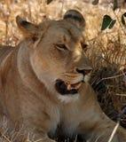 Animais selvagens africanos: Leão fêmea Imagem de Stock