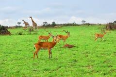 Animais selvagens africanos, Uganda Imagens de Stock