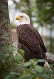 Animais selvagens americanos do pássaro da natureza da águia calva Imagem de Stock