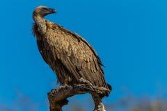 Animais selvagens animais empoleirados abutre suportados brancos do pássaro Fotografia de Stock Royalty Free