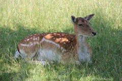 Animais selvagens, ano 2013 Foto de Stock Royalty Free