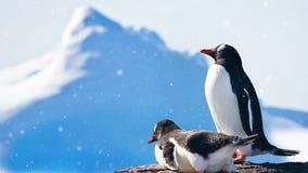 Animais selvagens antárticos: descanso preto e branco de dois pinguins filme