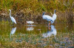 Animais selvagens aviários brancos em um pântano de Florida foto de stock royalty free