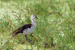 animais selvagens Botão-faturados do safari de Botswana África do pato fotos de stock