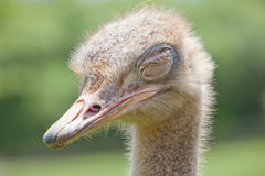 Animais selvagens da avestruz Foto de Stock Royalty Free