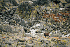 Animais selvagens da cabra-montesa nas montanhas Tatras elevados Fotos de Stock