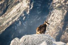Animais selvagens da cabra-montesa nas montanhas Tatras elevados Imagem de Stock