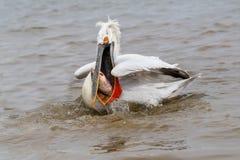Animais selvagens Dalmatian do crispus do Pelecanus do pelicano no habitat natural foto de stock royalty free