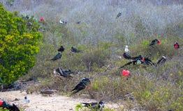 Animais selvagens das Ilhas Galápagos com pássaros raros Imagem de Stock Royalty Free