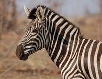 Animais selvagens de África: Zebra Fotos de Stock