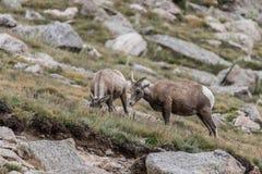 Animais selvagens de Colorado da montanha rochosa de cabras de montanha Imagem de Stock