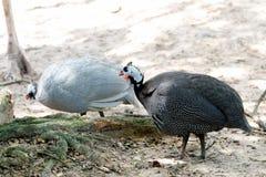 Animais selvagens do peru no jardim zoológico foto de stock