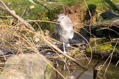 Animais selvagens dos lagos da natureza animal do pássaro Imagem de Stock Royalty Free