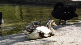 Animais selvagens dos p?ssaros, pato tranquilo que encontram-se perto do corpo de ?gua com cisnes pretas e pintainhos vídeos de arquivo