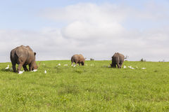 Animais selvagens dos rinocerontes Imagens de Stock Royalty Free