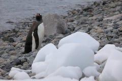 Animais selvagens e pinguins da Antártica foto de stock