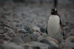 Animais selvagens e pinguins da Antártica imagens de stock