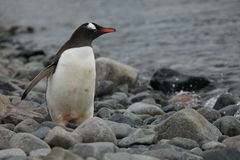 Animais selvagens e pinguins da Antártica fotografia de stock