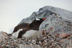 Animais selvagens e pinguins da Antártica imagens de stock royalty free