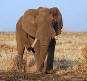 Animais selvagens: Elefante africano Fotos de Stock Royalty Free
