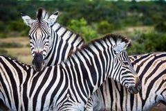 Animais selvagens em África do Sul Foto de Stock Royalty Free