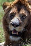 Animais selvagens em Tanzânia Imagem de Stock