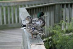 Animais selvagens fêmeas masculinos do pato selvagem da cerca dos patos Fotos de Stock
