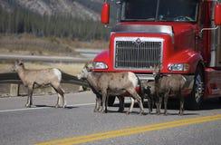 Animais selvagens na estrada Fotos de Stock
