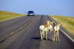 Animais selvagens na estrada com carro Fotos de Stock Royalty Free