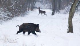 Animais selvagens na neve Fotografia de Stock