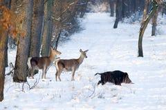 Animais selvagens na neve Fotografia de Stock Royalty Free