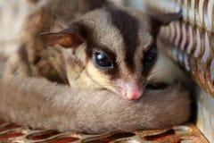 Animais selvagens nas gaiolas, planador do açúcar de Austrália imagem de stock