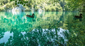 Animais selvagens no parque nacional dos lagos Plitvice, Croácia Fotos de Stock