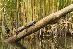 Animais selvagens no rio Imagens de Stock Royalty Free